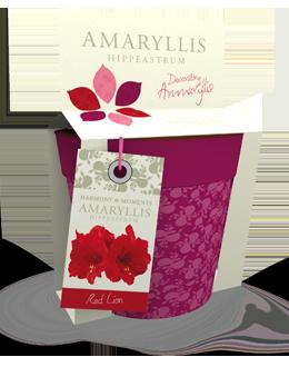 Amaryllis Red Lion