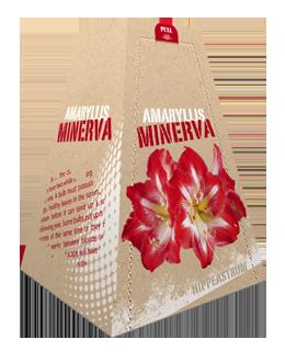 Amaryllis Minerva