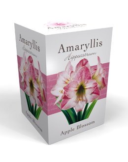 Amaryllis Roze