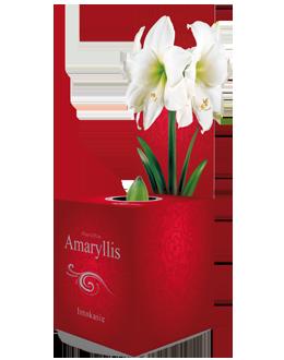 Amaryllis Intokazi