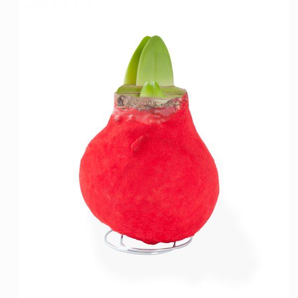 gewaxte amaryllis rood enkel