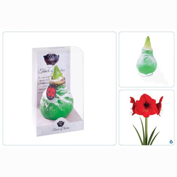 gewaxte amaryllis groen drieluik