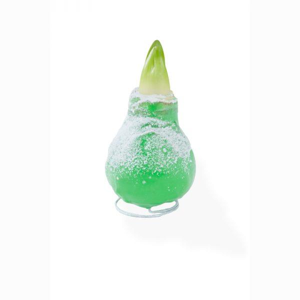 gewaxte amaryllis groen enkel