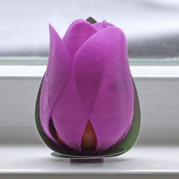 tulp flaming flag paars voorkant