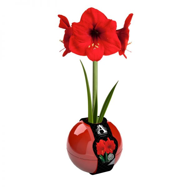 Amaryllis Lovely Red