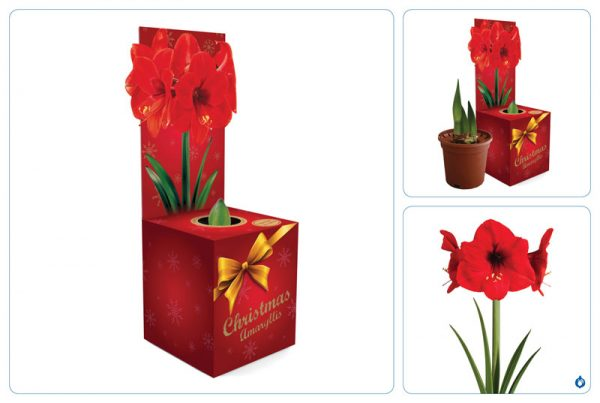 Amaryllis Lovely Red