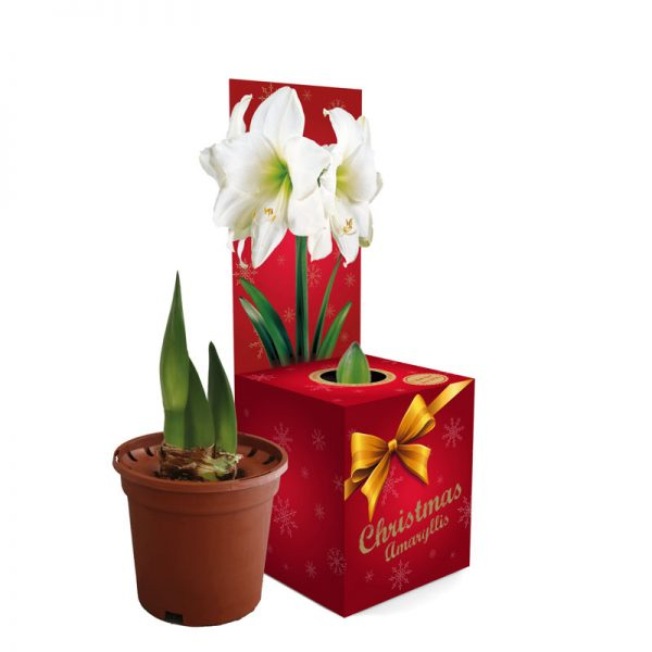 Amaryllis Lovely White