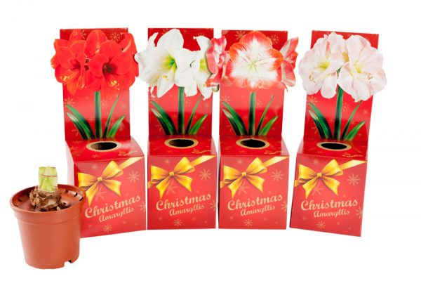 x-mas showbox Amaryllis assortiment