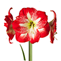 amaryllis gestreept