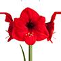 amaryllis rood