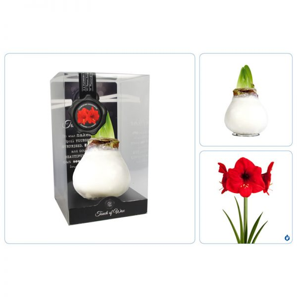 Touch of Wax Amaryllis Blanc Gloss