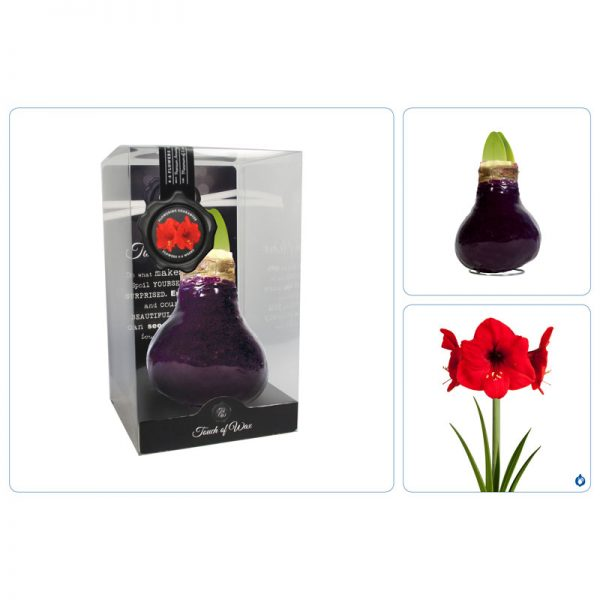 Touch of Wax Amaryllis Burgundy Gloss
