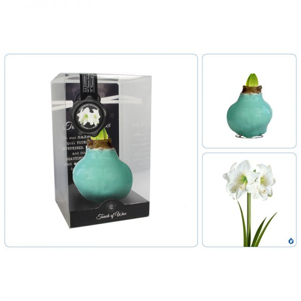 Touch of Wax Amaryllis Vintage Groen Gloss (wit)