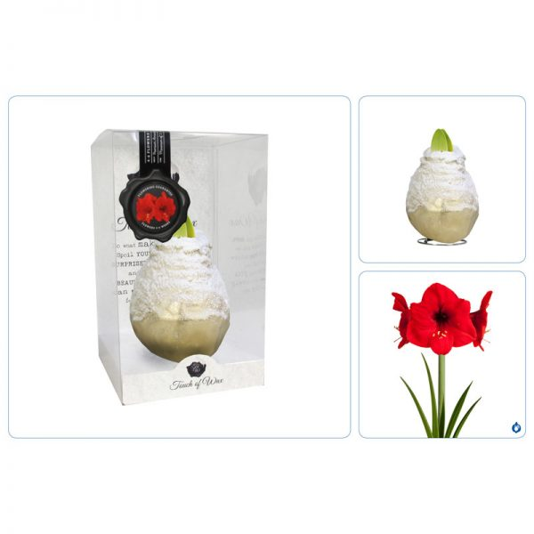 Touch of Wax Amaryllis Goud Snow