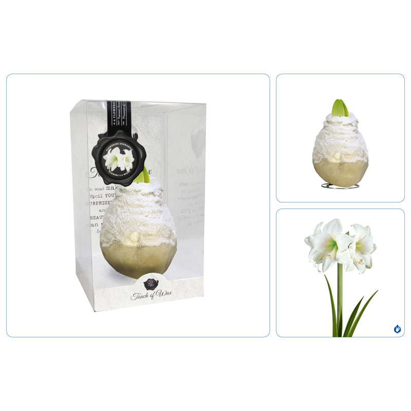 Touch of Wax Amaryllis Goud Snow (wit)