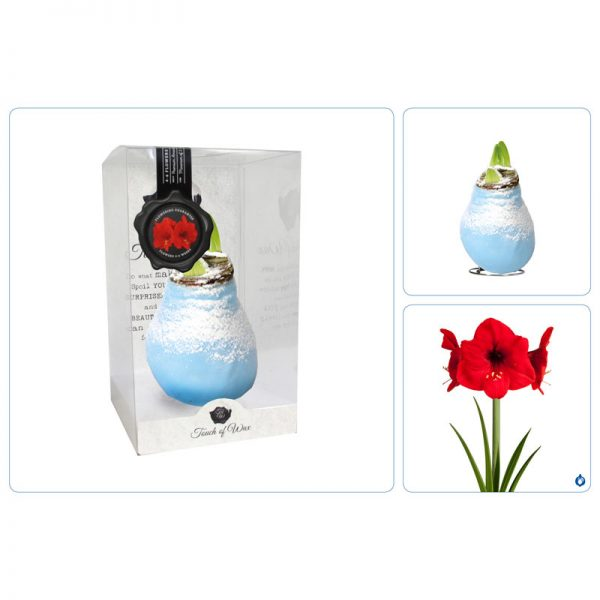 Touch of Wax Amaryllis Ice Blauw Snow