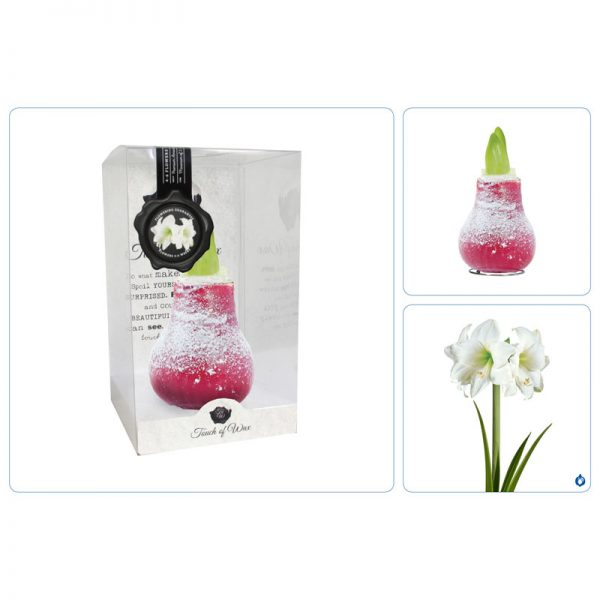 Touch of Wax Amaryllis Rood Snow (wit)