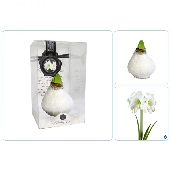 Touch of Wax Amaryllis Frost Glamour (wit)