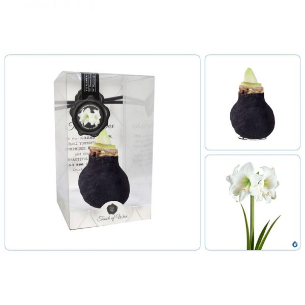 Touch of Wax Amaryllis Zwart Fluweel Glamour (wit)