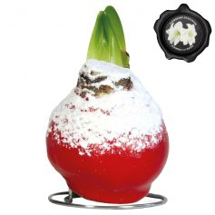 Touch of Wax Snow Amaryllis Kerst-Rood (wit)