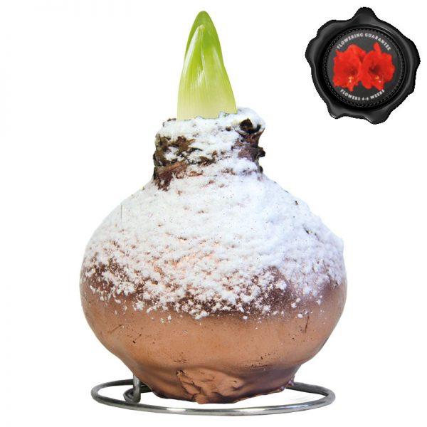 Touch of Wax Amaryllis Koper Snow