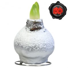 Touch of Wax Amaryllis Zilver Snow